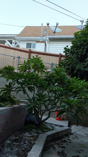 GIANT established plumeria tree! for Sale in Los Angeles, CA