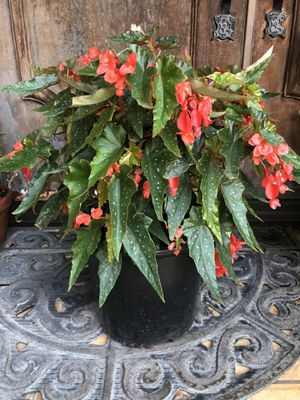 Beautiful angel wing begonia plant ! for Sale in Gardena, CA