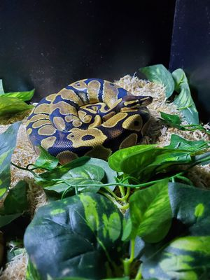Ball python for Sale in Edmonds, WA