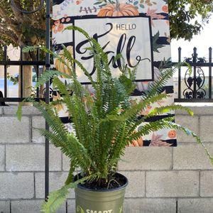 Fern Plant - Planta De El Hecho for Sale in Garden Grove, CA