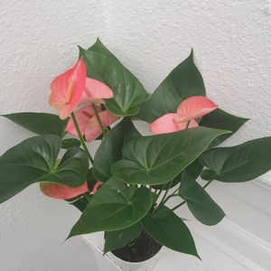 "Beautiful Flamingo Lilly - Anthurium In A 6"" Pot for Sale in Los Angeles, CA"