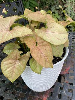 Plants De Sombra for Sale in Bellflower,  CA
