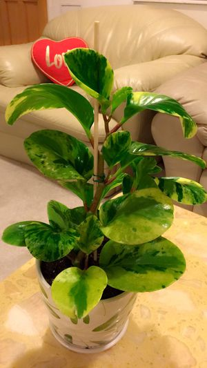 Marble Peperomia Plant for Sale in Garden Grove, CA