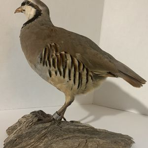 Chukar Partridge Mount In Excellent Condition for Sale in Houston, TX
