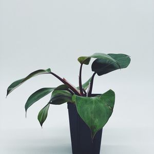 Philodendron White Knight for Sale in Chino, CA