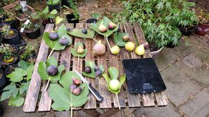 Large collection of rare figs for sale for Sale in Renton, WA