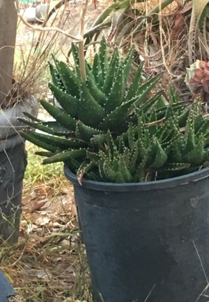 Agave plants in pots . for Sale in Redwood City, CA