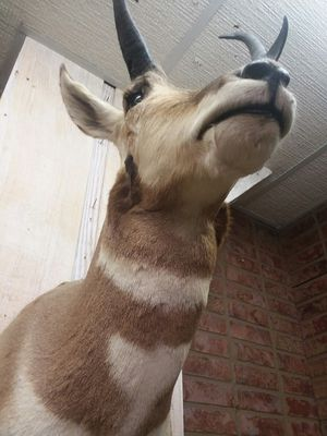 Taxidermied Prong Horned Sheep for Sale in Sunbury, OH