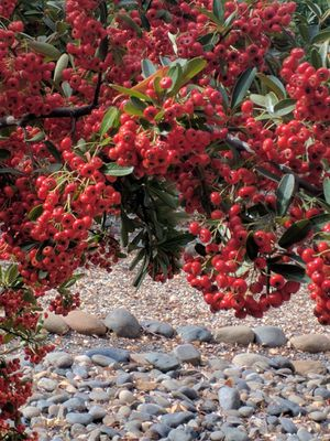 Pyracantha Plants for Sale in Oroville, CA