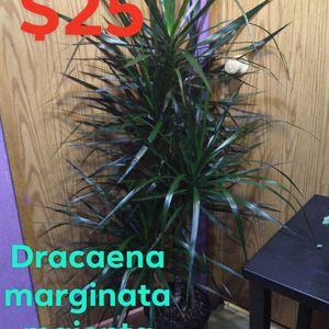 Beautiful Dracaena Marginata Majenta for Sale in Woodburn, OR