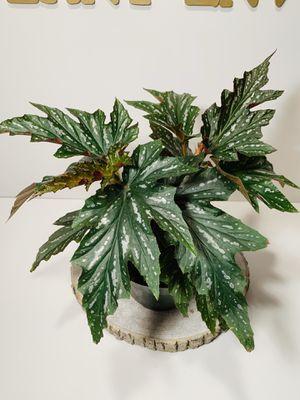 "6"" Pot Begonia Sophia Live Plant for Sale in Everett, WA"