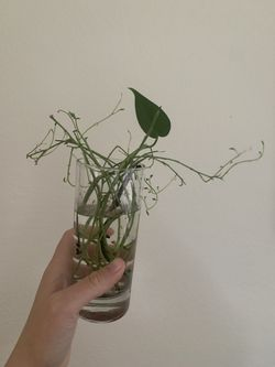 String Of Dolphins Cuttings  for Sale in Denver, CO