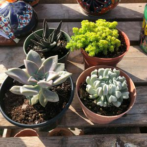Succulents for Sale in Homestead, FL