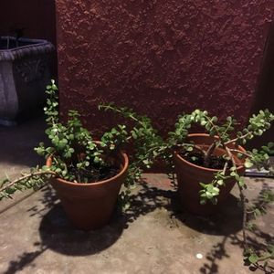 2 Plants for Sale in Rancho Cucamonga, CA