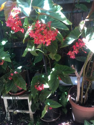 Angel Wing Begonia for Sale in San Diego, CA
