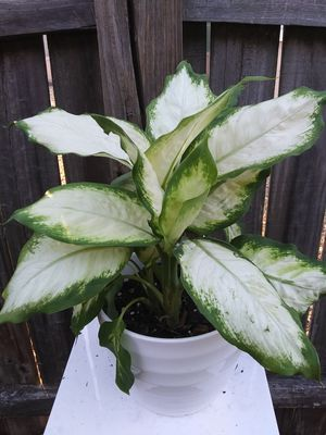 Dieffenbachia for Sale in Holiday, FL