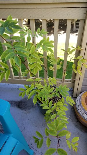 """Gorgeous red elderberry in 12"""" textured pot- Oregon native shrub for Sale in Tigard, OR"""