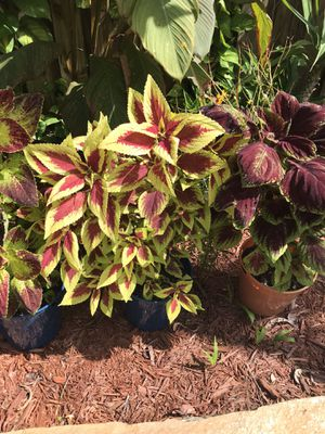Assorted coleus for sale! for Sale in Coral Springs, FL