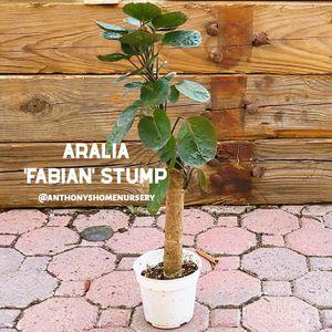 Aralia 'Fabian Stump' Indoor Plant for Sale in Hemet, CA