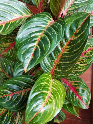 """Red Emerald Aglaonema 'chinese evergreen' in 6"""" nursery pot for Sale in City of Industry, CA"""