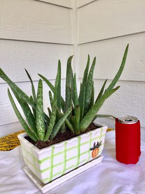 Real Indoor Houseplant - Aloe Vera Succulent Plants in Rectangular Ceramic Planter Pot with Saucer for Sale in Auburn, WA