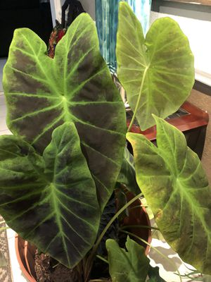 Extra large plant and extra large basse for Sale in Arlington, TX