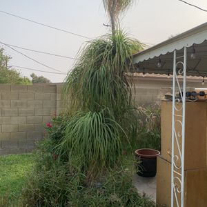 12' Pony Tail Palm for Sale in Tempe, AZ