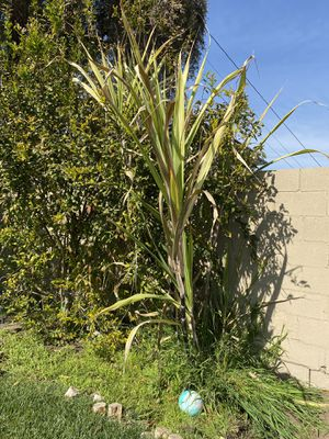 Fresh sugar cane for Sale in Los Angeles, CA