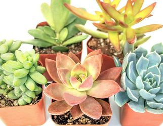 5Pack Real Live Potted Succulents Unique Indoor Cactus Decor for Sale in Los Angeles,  CA