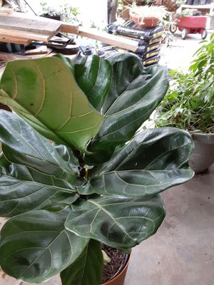 Beautiful Fiddle Leaf Fig Tree for Sale in Fresno, CA