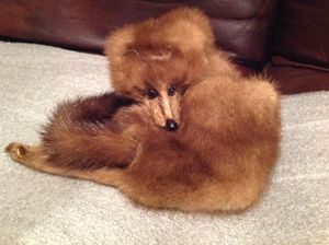 Antique Taxidermy Mink for Sale in Medical Lake, WA