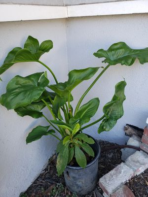 Calla Lily Plant for Sale in Sierra Madre, CA