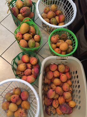 Mangoes for Sale in Pompano Beach, FL