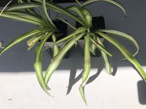 Spider plant $3each for Sale in Tulare, CA