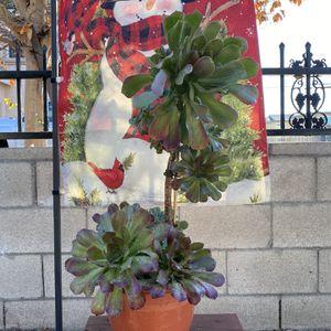 Beautiful Aeonium Succulent Plant for Sale in Garden Grove, CA