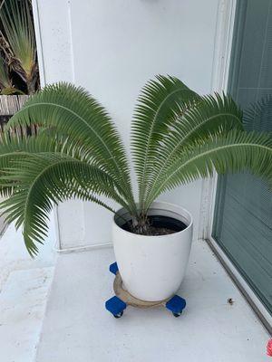 dioon spinulosum palm for Sale in Miami Beach, FL