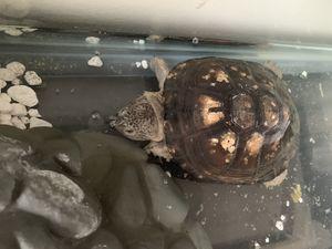 Turtle w/ Tank for Sale in Falls Church, VA