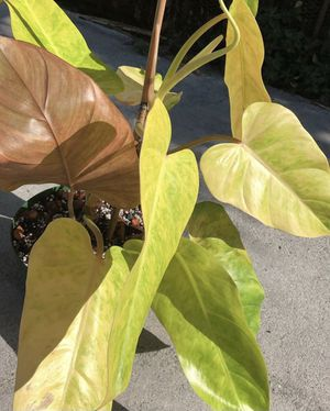 Philodendron Goldiana for Sale in Los Angeles, CA