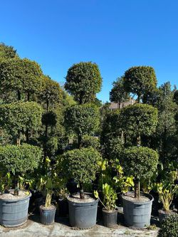 🌳EUGENIA TOPIARY 3 BALL SALE! 5'-6'ft $125.00 for Sale in Miami,  FL