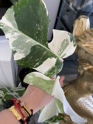 Rare Variegated Monstera Deliciosa Albo Cutting 2 leaves for Sale in Anaheim, CA