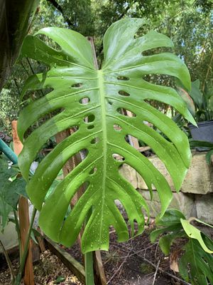 Monstera Deliciosa Plants etc. for Sale in San Antonio, TX
