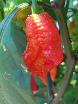 Fresh hottest Carolina reaper for Sale in North Potomac, MD