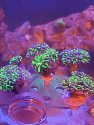 Hammer corals for Sale in Joint Base Lewis-McChord, WA