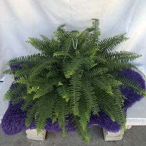 Boston Fern Wide Plant for Sale in South Gate, CA