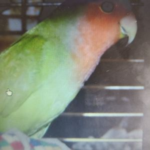 Peach Head Love Bird for Sale in Spring Valley, CA
