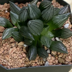 """1 Haworthia Mutant Double Heads In 3.5"""" Pot for Sale in Westminster, CA"""