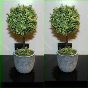 Boxwood Topiary Trees for Sale in London, KY