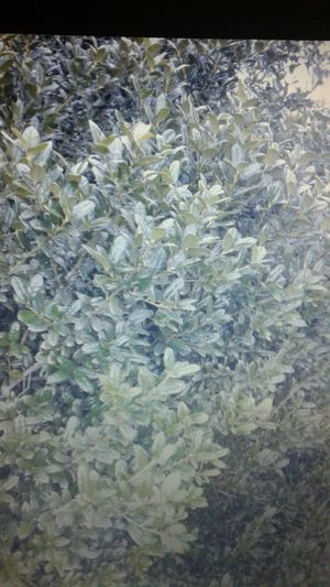 Holly Bushes for Sale in Tampa, FL