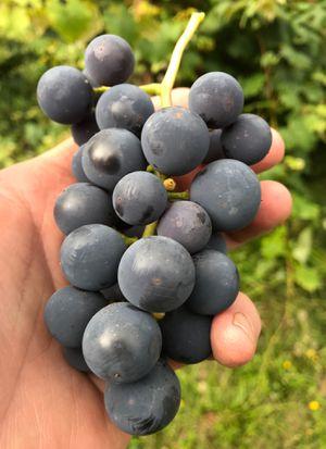 Grapes! for Sale in Auburn, WA