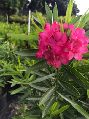 Oleander for Sale in Miami, FL